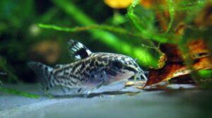 Bottom feeder fish food