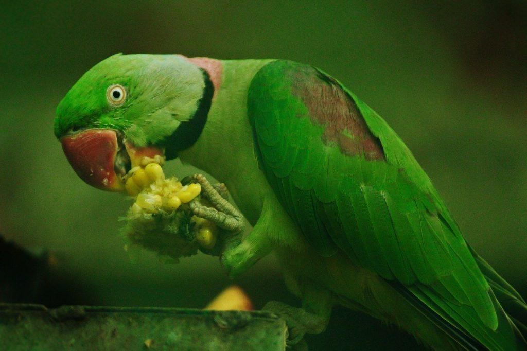 can parrots have grapes