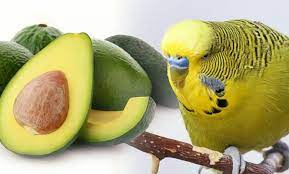 Avocado contains poison so it should not be fed to parrots