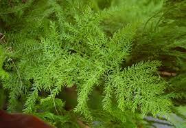 Asparagus setaceous leaves