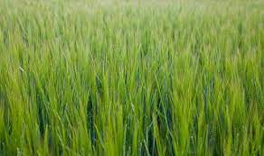 barley grass for dogs